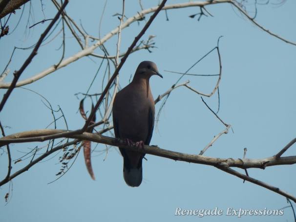 Pea Dove, Bird Watching, Jamaican Birds