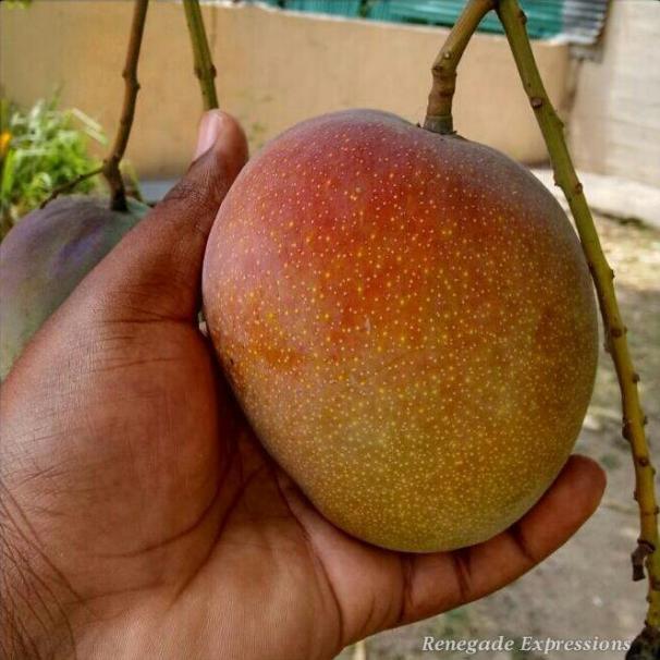 Mango Time, Jamaican Mango