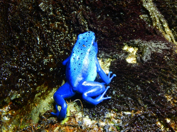 Poison Dart Frogs, Poisonous Frogs, Blue Poison Dart Frog