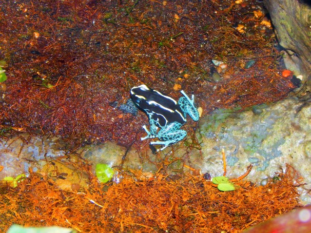 Blue- Bellied Poison Dart Frog
