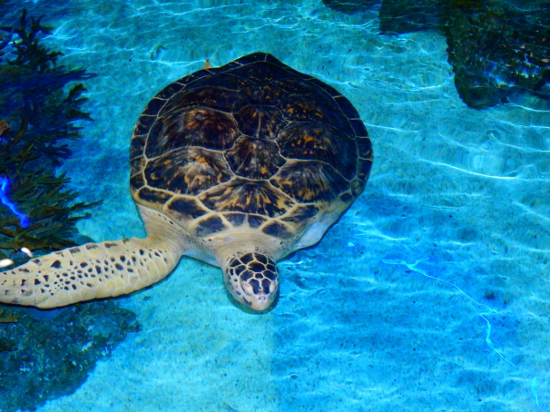 Calypso - Green Sea Turtle