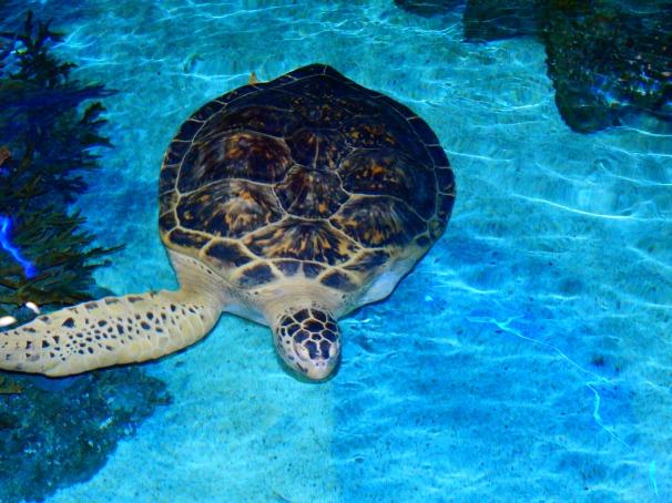 Calypso - Green Sea Turtle