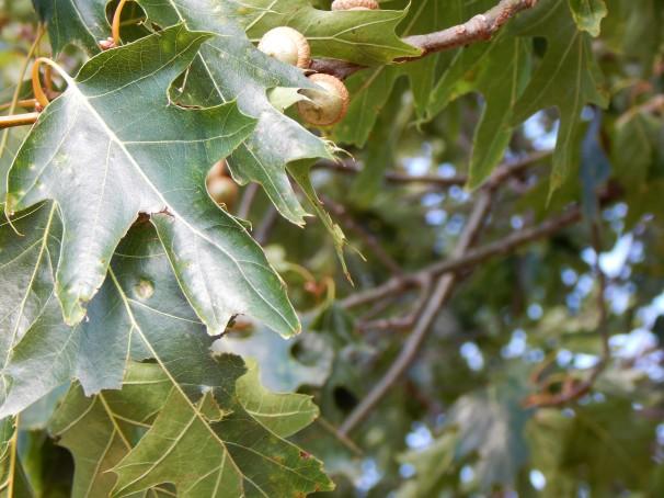 green-acorns