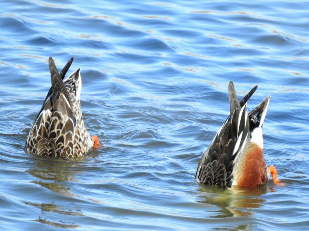 A pair of Northern Shovelers diving for food.