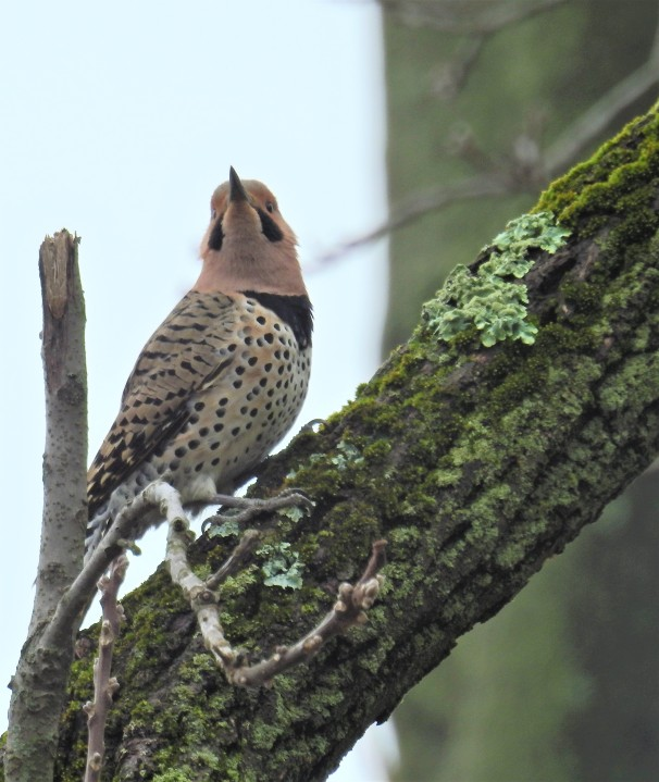 Northern Flicker - Yellow Shafted (Male)