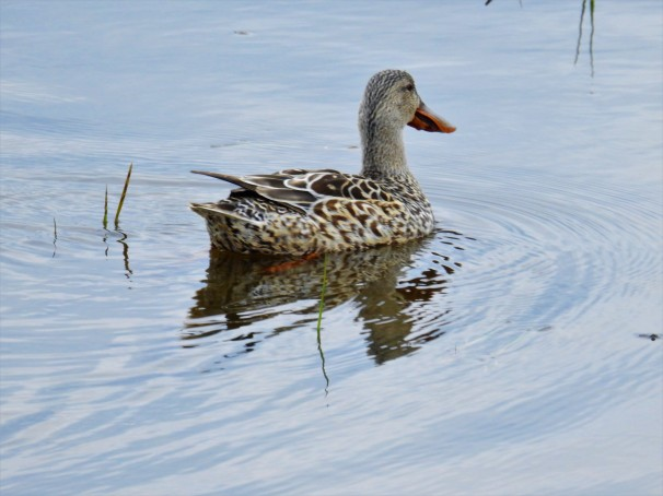 Northern Shoveler (Female)