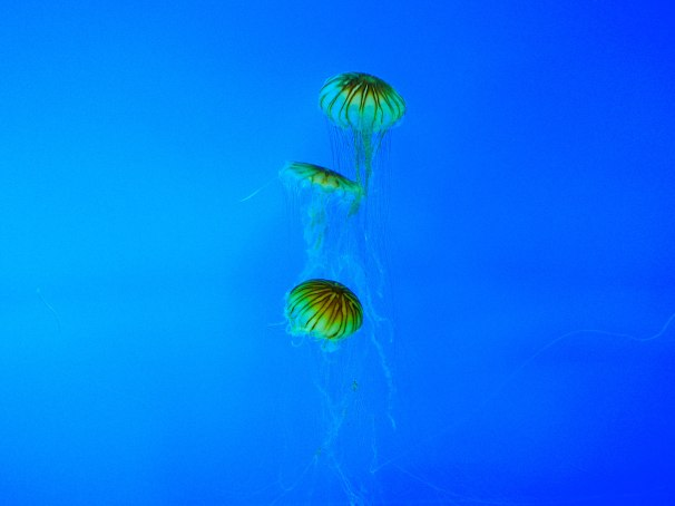 Atlantic Sea Nettles