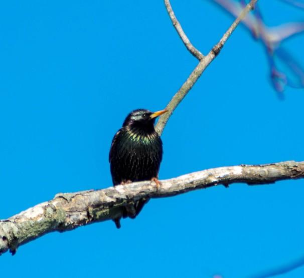 European Starling (Breeding Adult)
