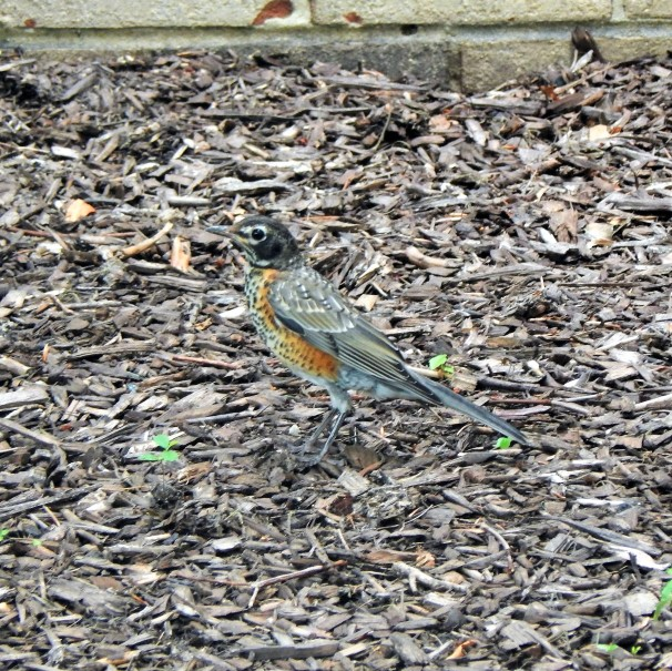 Female American Robin (2)
