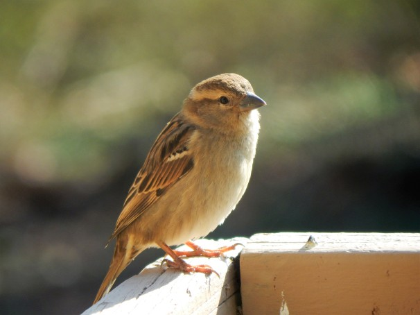 female-house-sparrow