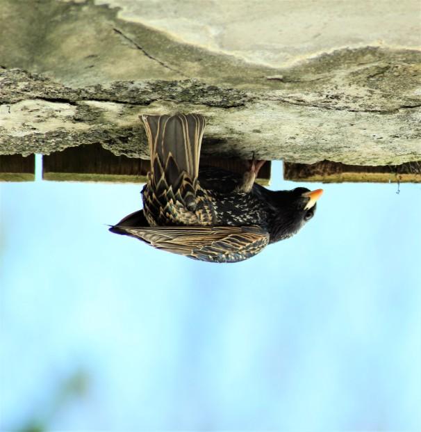 European Starling - Non Breeding Male