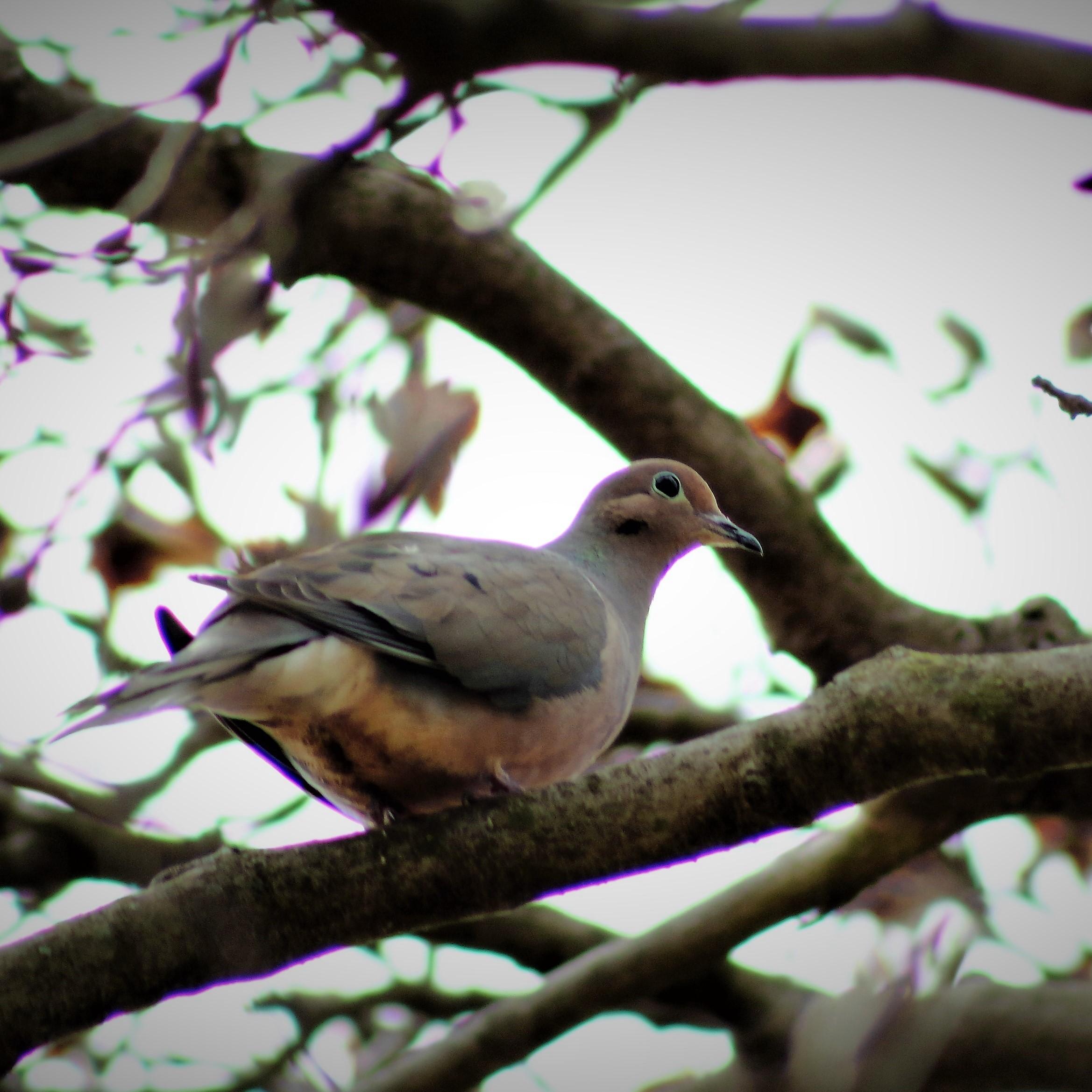 Paloma de luto - Whatbird.com