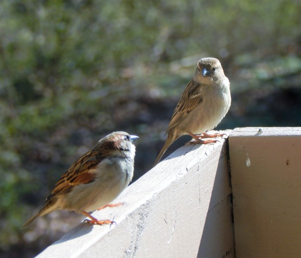 pair-of-house-sparrows