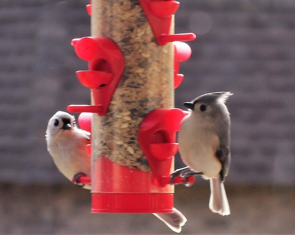 Pair of Tufted Titmouse