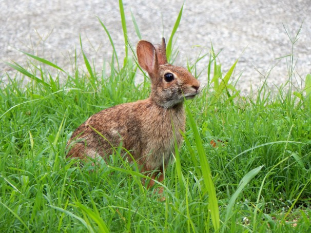 rabbit-in-the-grass
