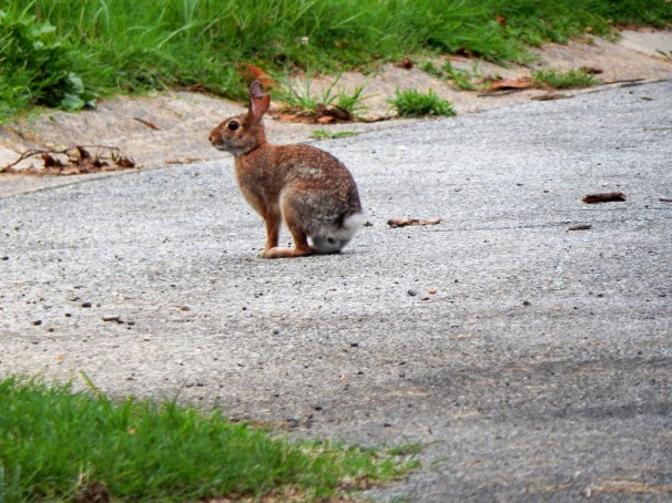 rabbit-in-the-road