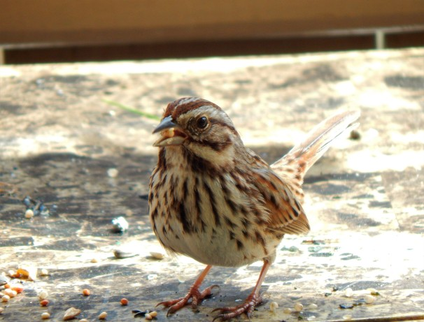 Song Sparrow Eating
