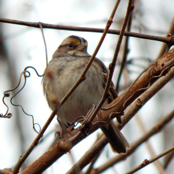 White Throated Sparrow (2)