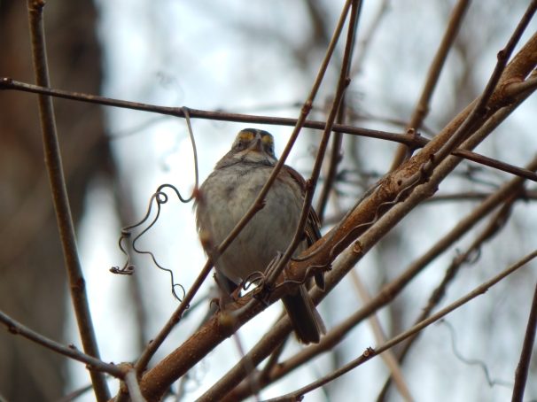 White Throated Sparrow Tan Striped Morph