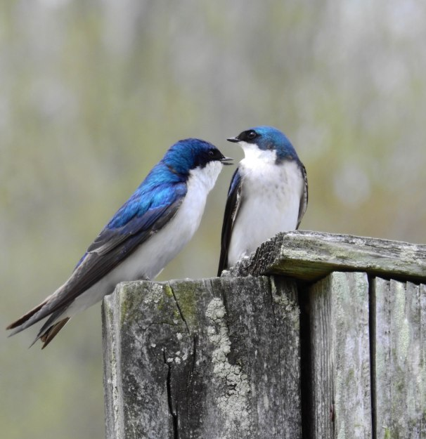 A Pair of Tree Swallows