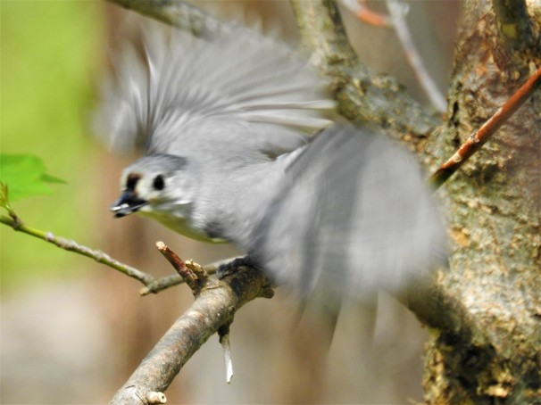 Tufted Titmouse in flight.