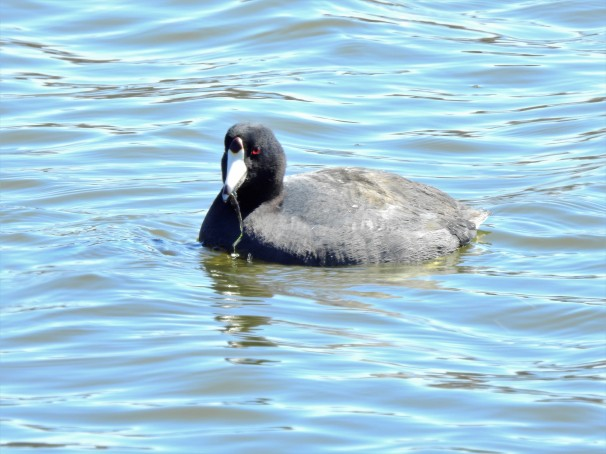 An American Coot eating.