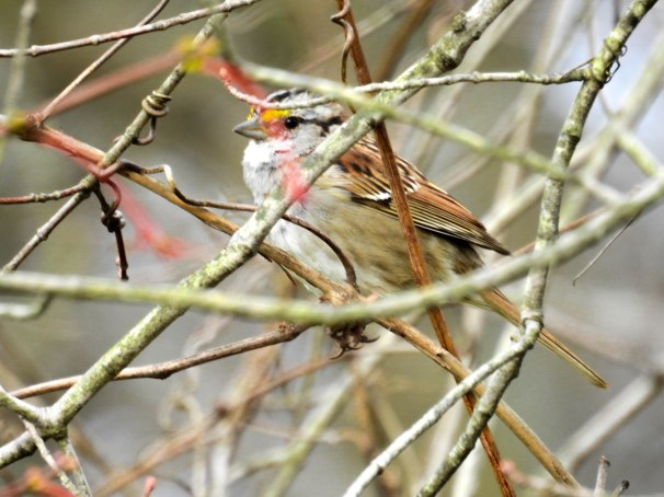 White-throated Sparrow [White Striped Form]
