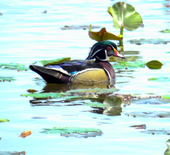 Wood Duck (Breeding Male)