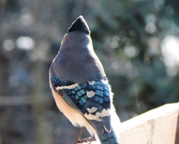 The back of a Blue Jay showing its beautiful feathers.