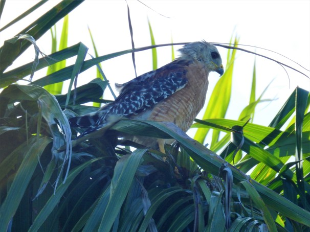 Red-shouldered Hawk in palm tree.