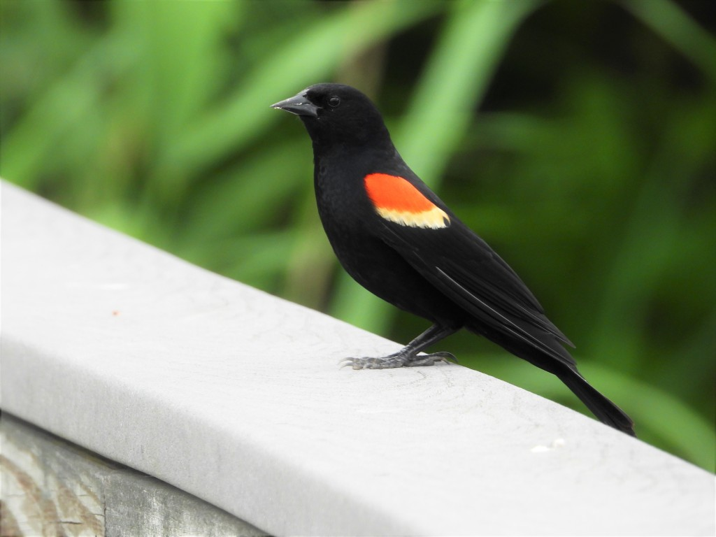 Red-winged Blackbird in Pennsylvania