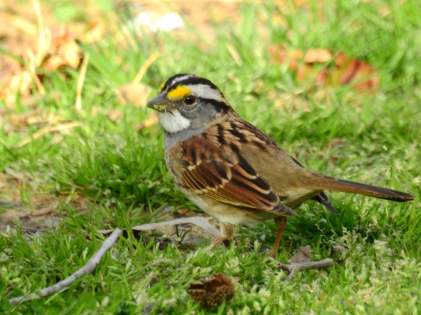 White-throated Sparrow White Stripe Form