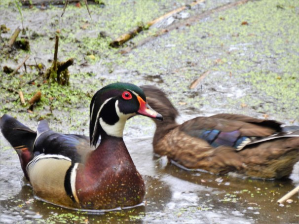 Male Wood Duck with female Wood Duck in the background.