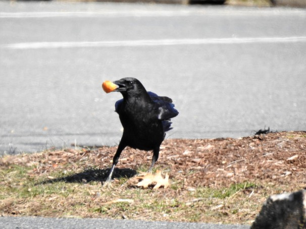 American Crow with piece of bread in its beak.