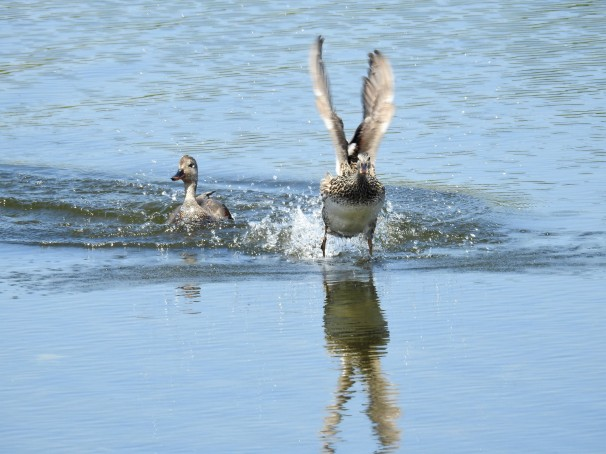 A pair of Gadwall ducks. Gadwall hen in flight.