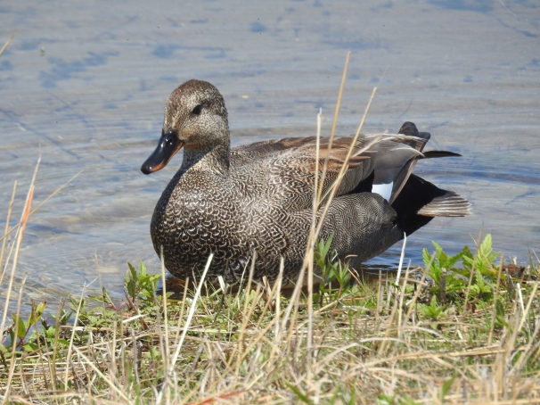 Gadwall (Male)