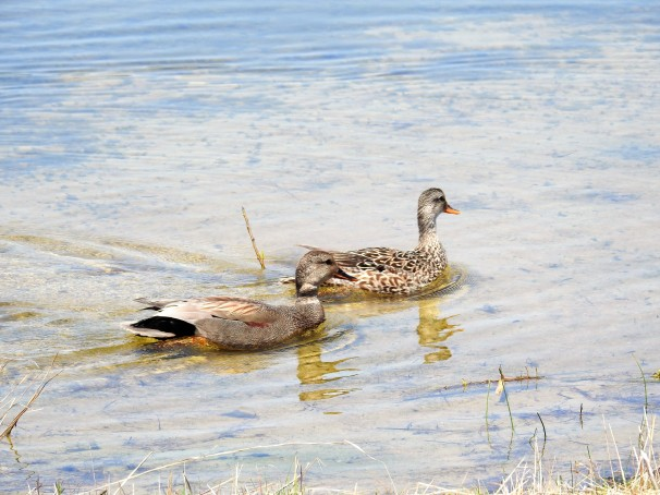 A pair of Gadwall ducks.