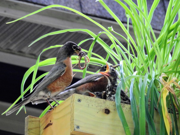 Female American Robin feeding her young.