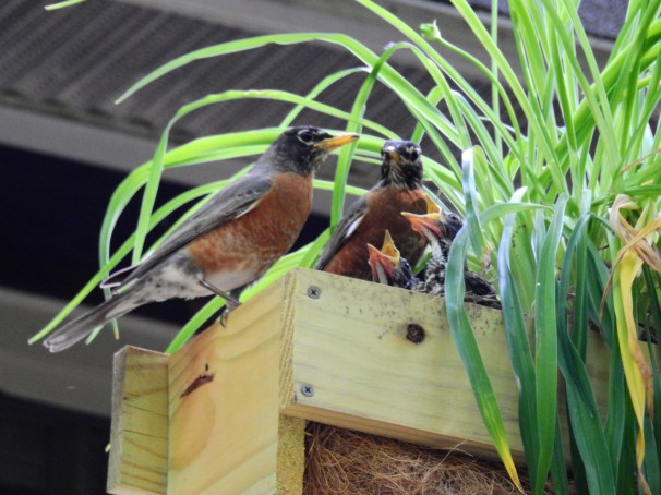 A pair of American Robins with their young.
