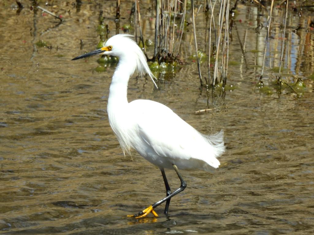 Snowy Egret in Delaware