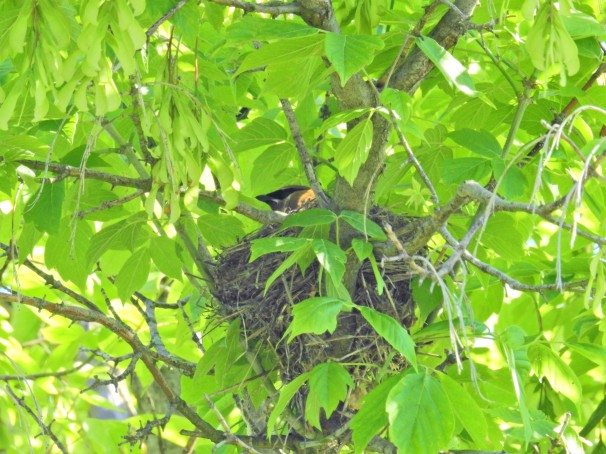 Cedar Waxwing in nest.