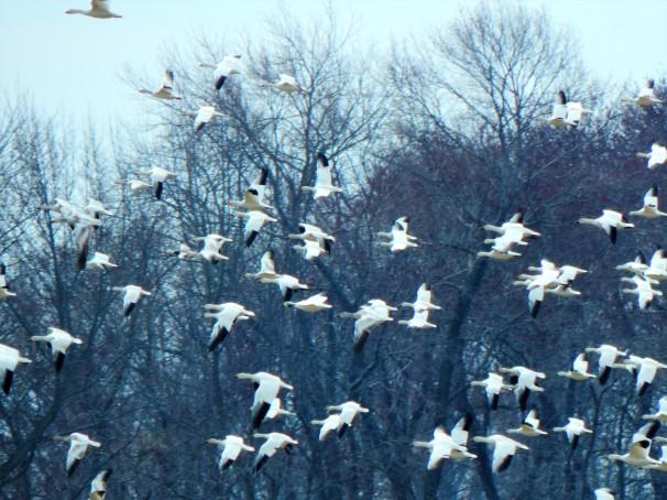 Snow Geese (White Morph)