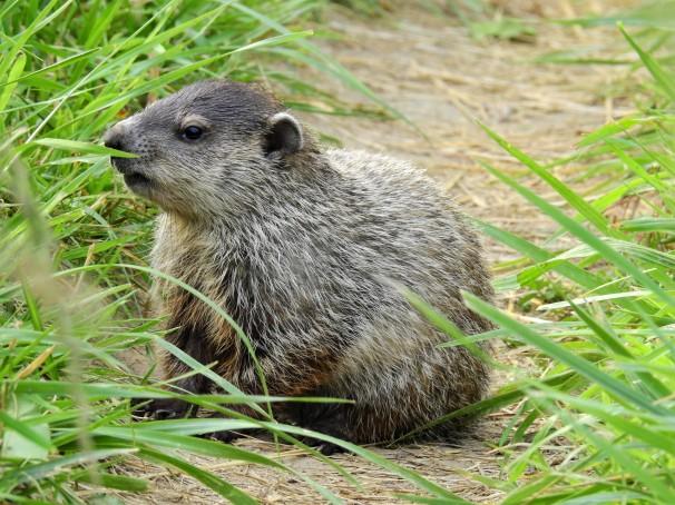 Groundhog, Woodchuck, Whistlepig,