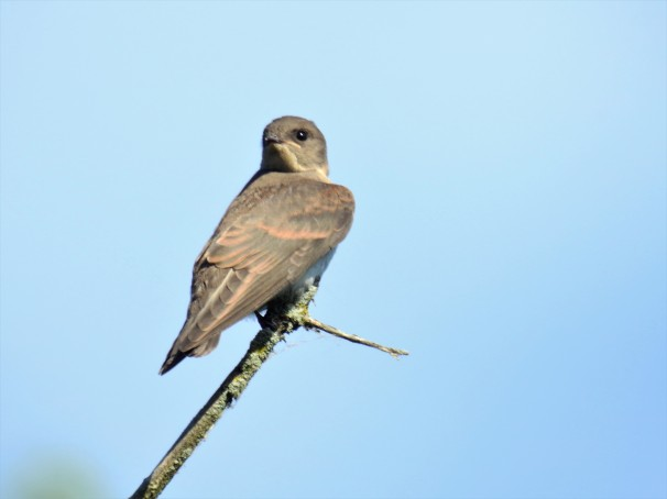 Northern Rough-winged Swallow in Pennsylvania.