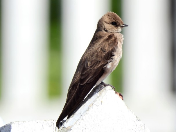 Northern Rough-winged Swallow in Delaware City.