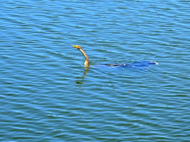 Anhinga (Female) swimming.