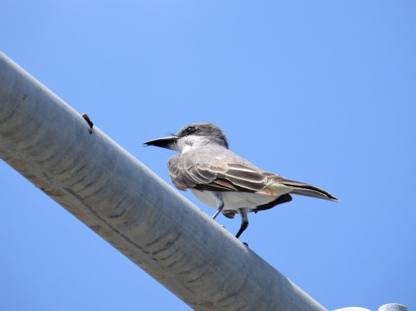 Gray Kingbird in St. Maarten