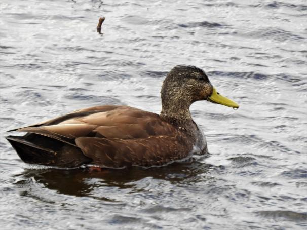 American Black Duck (Female)