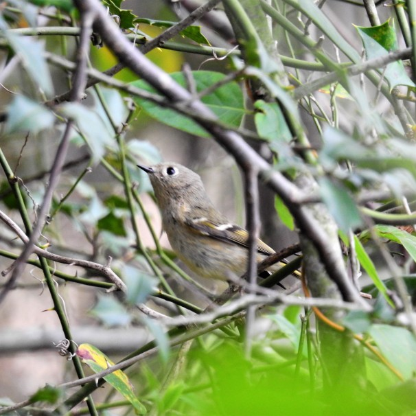 Ruby-crowned Kinglet (Female)