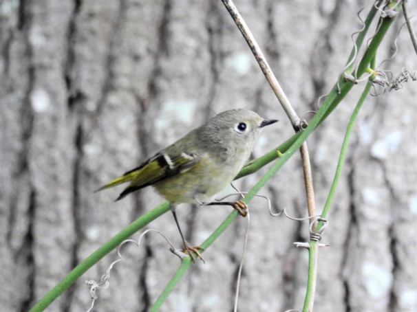 Ruby Crowned Kinglet (Female)